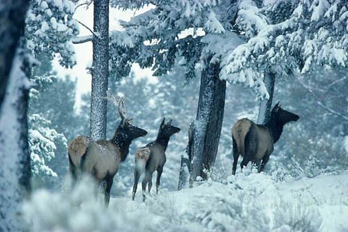Elk, (Cervus elaphus) Cow, calf and yearling bull. Bull still has velvet on antlers.Winter