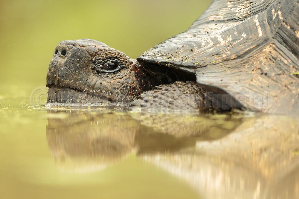 Galápagos giant tortoise lying in the water with reflection, at Santa Cruz Island   Galapagos kjempeskilpadde ligger i vannet, med refleksjon.