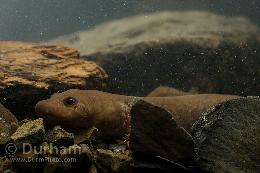 Neotenic or paedomorphic adult pacific giant salamander (Dicamptodon tenebrosus) with external gills. This species can blend in well with the cobbles and pebbles of a stream bottom. Columbia River Gorge, Oregon.