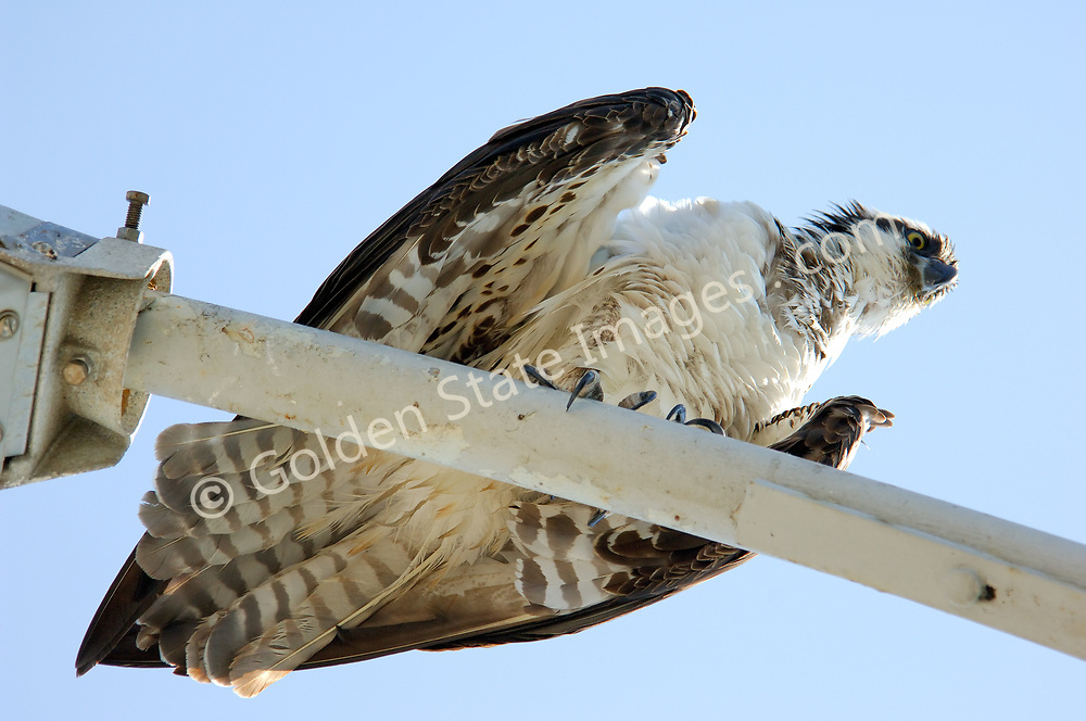 Found near coastlines, lakes and rivers worldwide, the Osprey is in the hawk family. Also called Sea Eagle or Sea Hawk, it feeds mainly on fish.  It grows to 2 feet, with a wing-span of almost 6 feet. <br /> <br /> Once endangered due to the use of pesticides and hunting, they have make a strong comeback and can often be spotted on light posts near the shoreline and estuaries and urban areas. <br /> <br /> Range:  Worldwide. <br /> <br /> Species: Pandion haliaetus