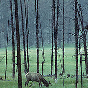 Elk, (Cervus elaphus) bull with antlers in velvet, grazes in fire charred timber. Spring snow storm.