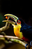 A toucan catching a treat in its mouth, Parque des Aves (Bird Park), Foz do Iguacu, Brazil.
