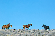 Rival Mustang Stalions, Farson, Wyoming