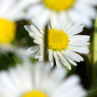 A patch of Daisies in the backyard - proof that Spring is here!