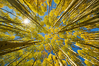 Wide angle composition looking straight up through beautiful fall color in an aspen forest in the San Juan Mountains of Colorado, USA
