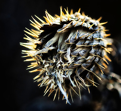 I was out for a walk the other day and and came across this dead thistle, there was a ton of direct light on it almost making the little pointy edges glow. I thought it would make a cool macro subject.
