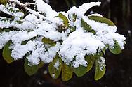 Met sneeuw bedekte Damascener roos (Rosa damascena)