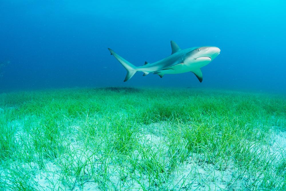 A Caribbean reef shark (Carcharhinus perezi) swims over manatee grass (Syringodium filiforme) off Nassau, Bahamas