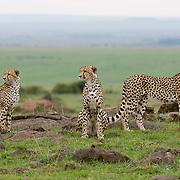 Cheetah (Acinonyx jubatus) Trio of male siblings. Masai Mara Game Reserve. Kenya. Africa.