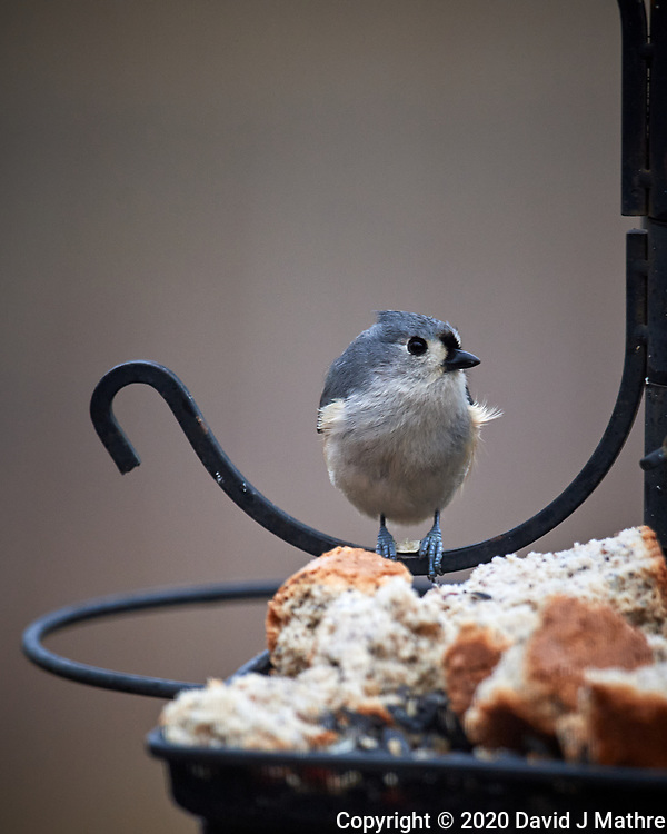 Tufted Titmouse. Image taken with a Nikon D5 camera and 600 mm f/4 VR lens (ISO 640 600 mm, f/4, 1/1250 sec)