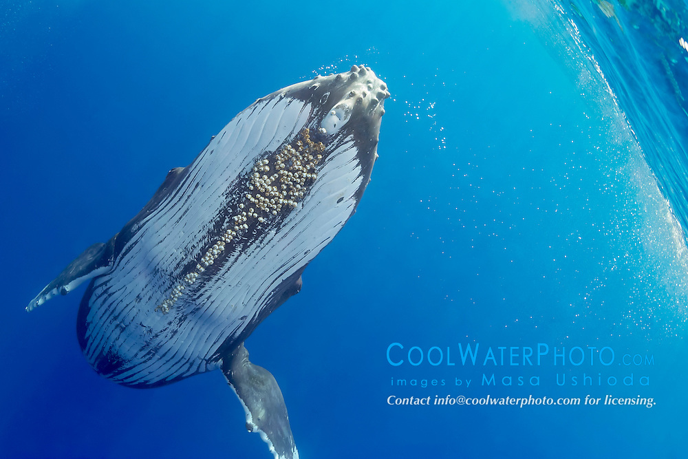 humpback whale, Megaptera novaeangliae, large adult female with parasitic acorn barnacles, Cornula diaderma, Hawaii, USA, Pacific Ocean