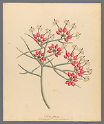 Cleome juncea. [Cadaba aphylla] (1817) from a collection of ' Drawings of plants collected at Cape Town ' by Clemenz Heinrich, Wehdemann, 1762-1835 Collected and drawn in the Cape Colony, South Africa