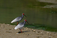Crested ibis, Nipponia nippon, also known as the Japanese crested ibis, Yangxian nature reserve, Shaanxi, China