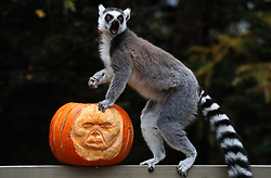 A ring tailed lemur sits on top of a carved pumpkin at Blair Drummond Safari Park. The pumpkins carved by design students from nearby Forth Valley College and have been filled with enrichments.