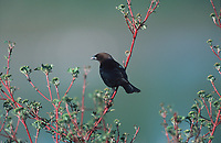 Brown-headed Cowbird (Molothrus ater) perched in tree, Millarville, Alberta, Canada   Photo: Peter Llewellyn