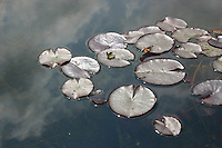 Water lillies in pond with sky reflected