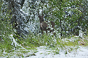 Woodland Caribou in early snow storm (Rangifer tarandus caribou)<br />