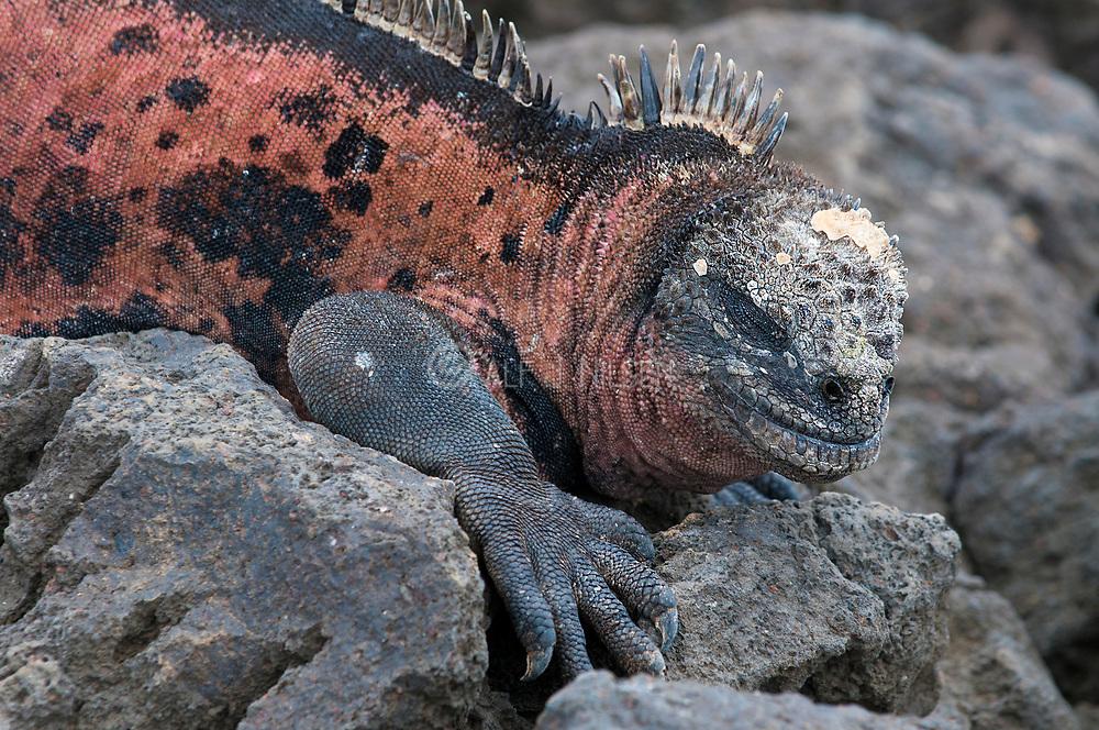 Marine Iguana, Amblyrhynchus cristatus, from Floreana, Galapagos Islands.