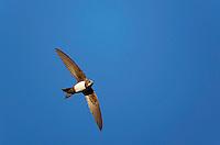 Alpine Swift (Apus melba) Extremadura, Spain. April 2009