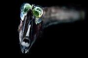 [captive] Deep Sea Threadtail (Stylephorus chordatus). This deep sea fish is a mesopelagic species with eyes modified to detect the slightest traces of light. Atlantic Ocean close to Cape Verde | Stylephorus chordatus lebt mesopelagisch zwischen 300 und 600 Meter Tiefe in der Nacht und zwischen 600 und 800 Meter während des Tages. Bei jedem Tag- und Nachtwechsel unternimmt er Vertikalwanderungen von 200 bis 300 Meter.