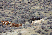 Wild horse (equus caballus), Sand Wash Basin, Colorado, USA   Photo: Peter Llewellyn