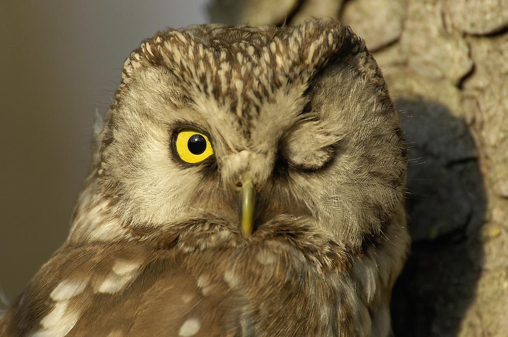 Tengmalm's owl, Aegolius funereus, Bergslagen, Sweden