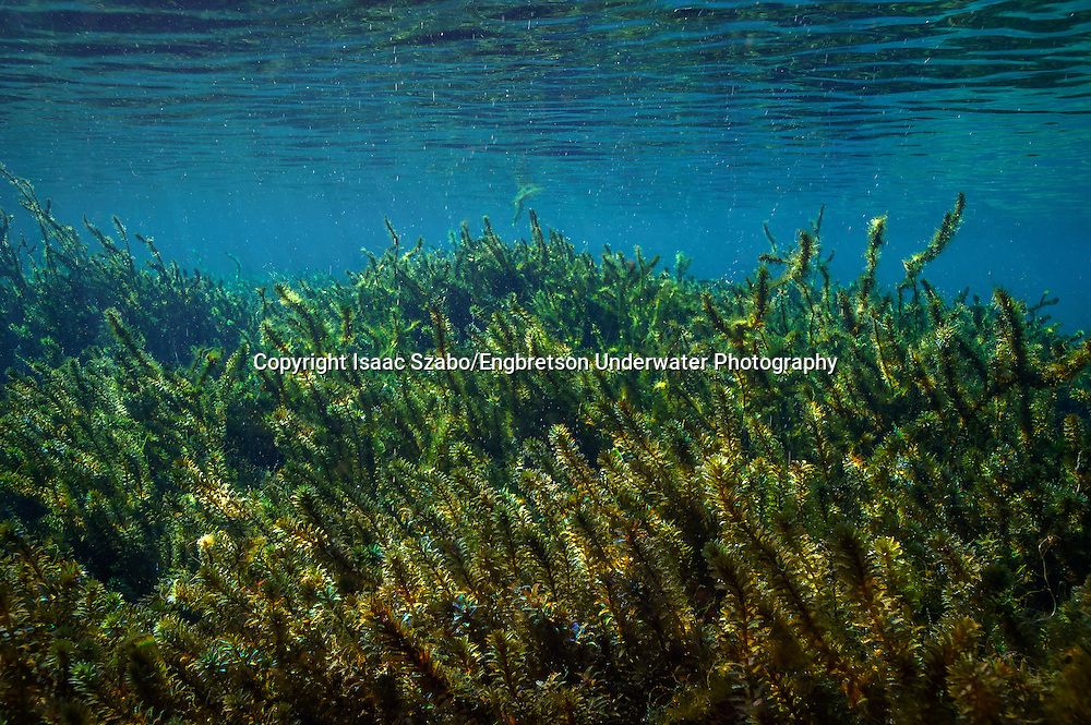 Hydrilla<br /> <br /> Isaac Szabo/Engbretson Underwater Photography