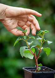 Pinching out the growing tips of a young fuchsia plant to encourage bushy growth