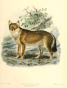"""The Falkland Islands wolf (Dusicyon australis [here as Canis antarcticus]), also known as the warrah, the Falkland Islands dog, Falkland Islands fox, or Antarctic wolf, was the only native land mammal of the Falkland Islands. This endemic canid became extinct in 1876, the first known canid to have become extinct in historical times. From the Book Dogs, Jackals, Wolves and Foxes A Monograph of The Canidae [from Latin, canis, """"dog"""") is a biological family of dog-like carnivorans. A member of this family is called a canid] By George Mivart, F.R.S. with woodcuts and 45 coloured plates drawn from nature by J. G. Keulemans and Hand-Coloured. Published by R. H. Porter, London, 1890"""