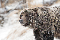 Grizzly Bear in snow.