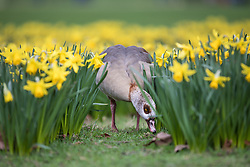 © Licensed to London News Pictures. 28/02/2017. London, UK. A goose photographed among daffodils which have flowered earlier than usual in St James's Park London, an early sign of Spring. Photo credit: Rob Pinney/LNP