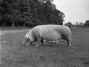 02/06/1958 <br /> 06/02/1958<br /> 02 June 1958<br /> <br /> Mr McElligott's Pigs at Leixliip
