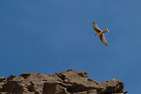 A prairie falcon streaks past, pivots and dives while hunting along a large cliff in Northeastern Califonia in rural Modoc County. Very similar yet only slightly diminished in size and speed as its distant cousin, the peregrine falcon, the prairie falcon makes its home in the wide, open prairies and arid deserts of the American West interior.