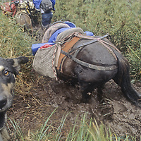 A dog watches warily as pack horses wallow in deep mud en route to an Incan burial site in the cloud forests of Peru's Condillera Central.