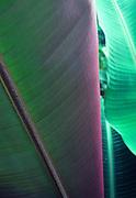 Banana leaf<br />