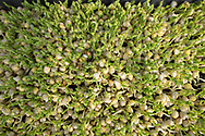 detail closeup of peas shoots in a tray with first green leaves emerging