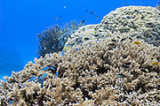 Fish on tropical Acropora subglabra coral reef - Agincourt reef, Great Barrier Reef, Queensland, Australia. <br />