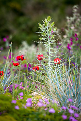 Papaver rhoeas mingling with Ptilostemon diacantha in a gravel garden planted to attract wildlife