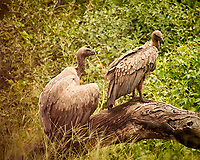White-backed Vulture. Chobe river, Botswana. Image taken with a Nikon N1V3 camera and 70-300 mm VR lens