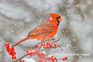 01530-23308 Northern Cardinal (Cardinalis cardinalis )male in Winterberry bush (Ilex verticillata) in winter Marion Co. IL