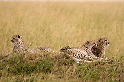 Cheetah (Acinonyx jubatus) resting in the grass, A swarm of flies harass her