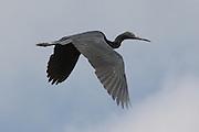Great Blue Heron (Ardea herodias)  above the mangrove swamps, Cubatão