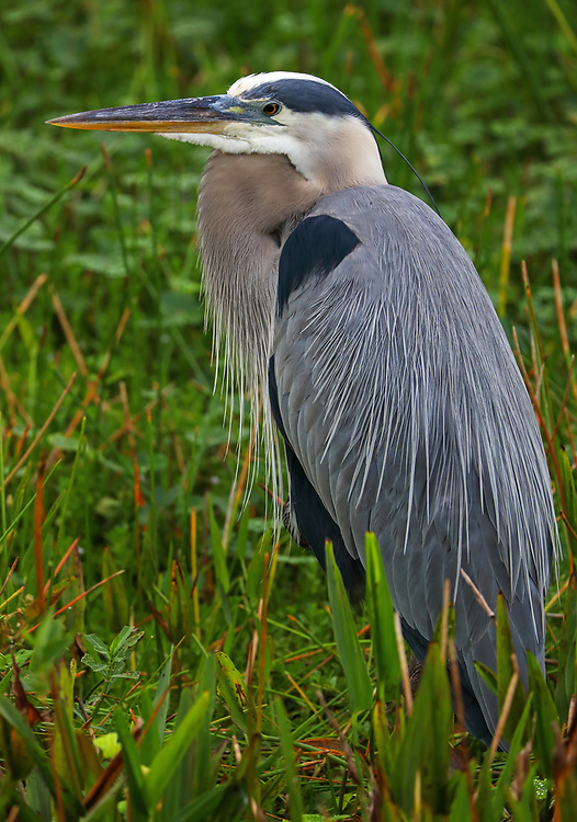 South Florida bird photography from outdoor photographer Juergen Roth showing a Great Blue Heron at Wakodahatchee Wetlands in Boynton Beach, Florida. Wakodahatchee Wetlands and Green Cay are amazing places on earth for wildlife viewing and photography in Florida. Upon arrival, there were at least 30 nesting everglades storks in side and while making my rounds on the boardwalk I encountered this Great Blue Heron bemong other bird species. <br /> <br /> Bird photos of this Great Blue Heron are available as museum quality photo prints, canvas prints, wood prints, acrylic prints or metal prints. Fine art prints may be framed and matted to the individual liking and decorating needs:<br /> <br /> https://juergen-roth.pixels.com/featured/wakodahatchee-wetlands-bird-juergen-roth.html<br /> <br /> All digital bird photo images are available for photography image licensing at www.RothGalleries.com. Please contact me direct with any questions or request.<br /> <br /> Good light and happy photo making!<br /> <br /> My best,<br /> <br /> Juergen<br /> Prints: http://www.rothgalleries.com<br /> Photo Blog: http://whereintheworldisjuergen.blogspot.com<br /> Instagram: https://www.instagram.com/rothgalleries<br /> Twitter: https://twitter.com/naturefineart<br /> Facebook: https://www.facebook.com/naturefineart