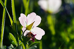 Pink evening primrose, Botanical Research Institute of Texas, Fort Worth, Texas, USA. Tentative ID)