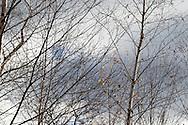 Birch Filagree