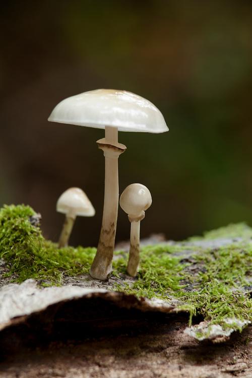 a group of Porcelain Fungus on a bark wih moss, France