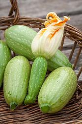 Courgette 'Lebanese'. Zucchini