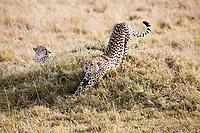 Cheetahs in the Masai Mara reserve in Kenya Africa