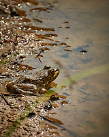 Kermits yonger brother Kermit the Bullfrog at the Pond. Image taken with a Nikon 1 V3 camera and 70-300 mm VR lens