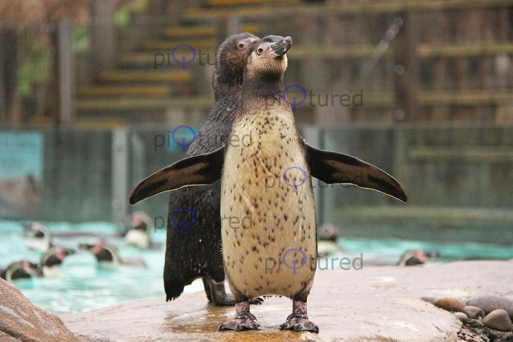 Humboldt Penguins, ZSL London Zoo Annual Stocktake 2015, Regents Park, London UK, 05 January 2015, Photo By Brett D. Cove